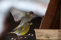 Two Green finch in bird box Royalty Free Stock Images
