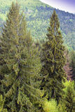 Two green fir-trees with bird's-eye and Carpathians mountains w Stock Photos