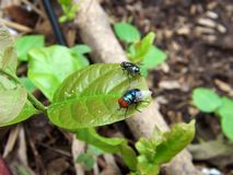 Two green flies parked on the leaf royalty free stock photography