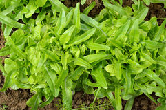 Two green, fresh oakleaf lettuce. Royalty Free Stock Image