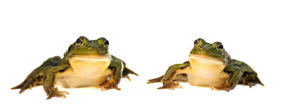Two green frog isolated on white background. pair of toads. Royalty Free Stock Photo