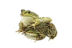 Two green frog next to each other Stock Photography