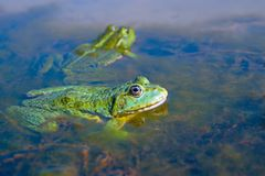 Two green frogs. In the swamp Stock Image