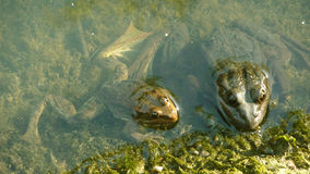 Two green frogs royalty free stock images