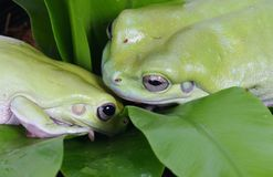 Two green frogs Stock Images