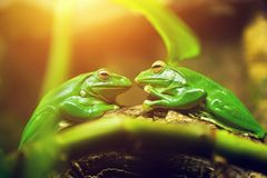 Two green frogs sitting on leaf looking on each other. Like a couple about to kiss Royalty Free Stock Photography