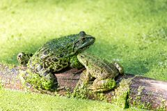 Two green frogs on a trunk in a pond full of duckweed stock photography
