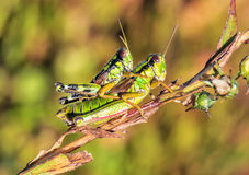 Two green grasshoppers Royalty Free Stock Image
