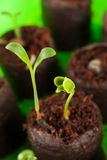Two green growing out of soil Stock Image