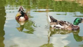 Two green head ducks swimming. Two green head ducks swiimming and searching for a better life stock video