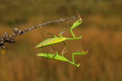 Two green insect praying mantis on flower, Mantis religiosa, Czech republic. Two green insect praying mantis on flower Royalty Free Stock Photos