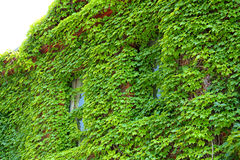 Two green, ivy covered windows, facade of building, Keene, New H Royalty Free Stock Photography