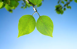 Two Green Leafes In Sunny Day Stock Photography