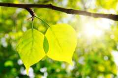 Two green leafes in sunny day. Two green leafes on branch in sunny day Stock Images