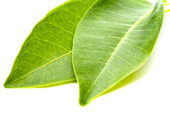 Two Green Leafs Close-up Stock Photo