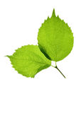 Two green leaves Royalty Free Stock Photo