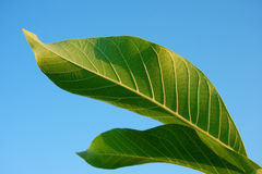 Two Green Leaves Against Blue Sky. Stock Photos