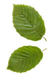 Two green leaves of elm tree isolated on white backgro Stock Photo