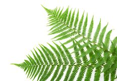 Two green leaves of fern Royalty Free Stock Photos