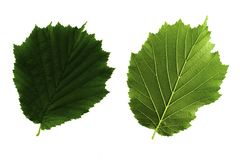 Two green leaves of hazel isolated on white background, top and bottom side of leaf stock photography