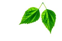 Two green leaves isolated on white. Two leaves with water drops isolated on white Stock Photo