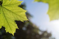 Two green leaves of a maple closeup Stock Photo