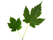 Two green leaves of maple tree isolated on white backg Royalty Free Stock Photo