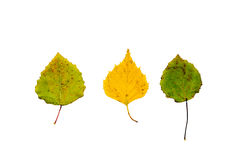 Two green leaves and one yellow. Two green birch leaves and one yellow isolated on white background Royalty Free Stock Photos