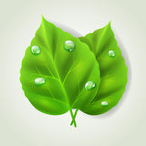 Two green leaves. With water drops Stock Image