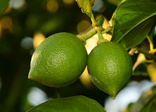 Two green lemons Stock Photo