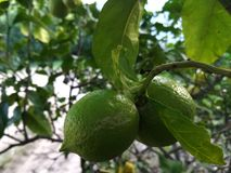 Two Green Lemons Growing on a Lemon Tree royalty free stock images