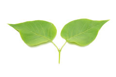 Two green lilac leaves. Stock Photography