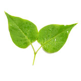 Two green lilac leaves. Stock Photo