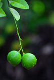 Two green limes are on lemon tree at wet rain water drops. And have a blurry green and black background with copy space Royalty Free Stock Images