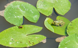 Two green little frogs Royalty Free Stock Photography