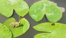 Two green little frogs Royalty Free Stock Photo