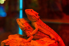 Two green lizard basiliscus sitting on a branch Stock Images