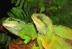 Two green lizards outdoors stock image