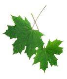 Two green maple leaves Stock Photography