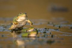 Two Green Marsh Frog Pelophylax ridibundus on a beautiful light.  Stock Image