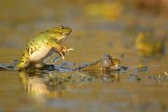 Two Green Marsh Frog Pelophylax ridibundus on a beautiful light.  Royalty Free Stock Photo