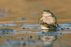 Two Green Marsh Frog Pelophylax ridibundus on a beautiful light.  Stock Photography