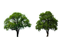 Two green oak tree stock photos