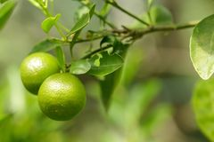 Two green oranges stock images