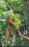 Two Green parrot Royalty Free Stock Photo