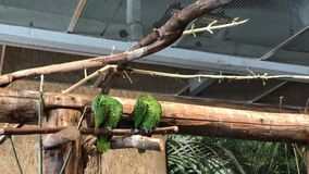 Two green parrots cleaning themselves in Papugarnia in Warsaw, Poland. 4k stock footage