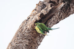 Two green parrots entering their nest hole Royalty Free Stock Images