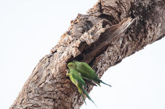Two green parrots perched on a old tree trunk Stock Photography