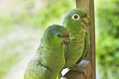 Two green parrots sitting Stock Image