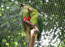 Two green parrots Royalty Free Stock Photography